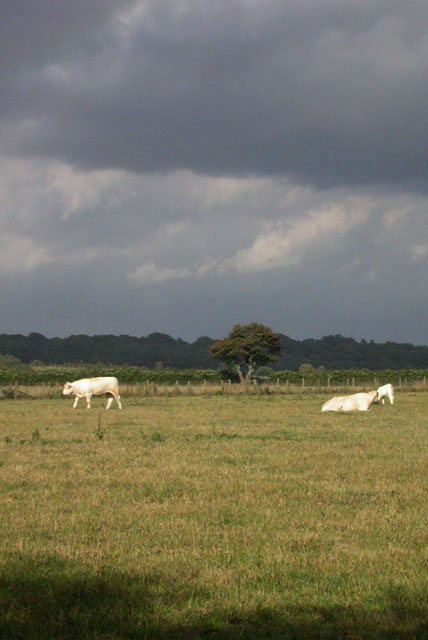 Field with grazing cows