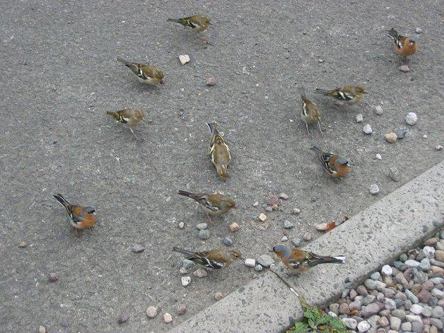 Chaffinches, Inveruglas