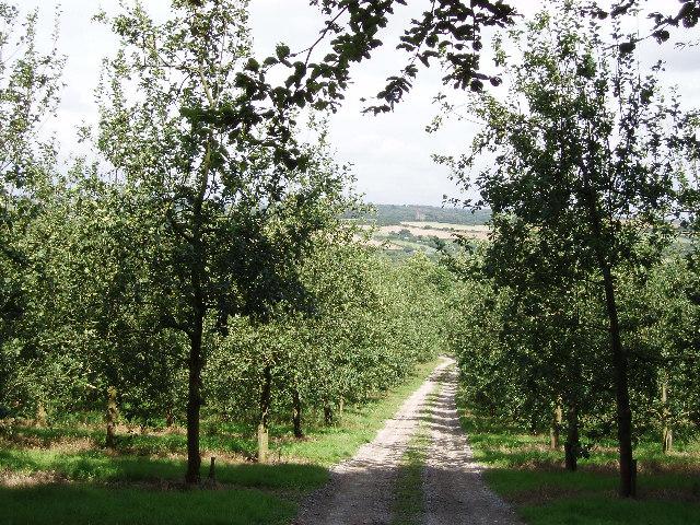 Old cider apple orchard