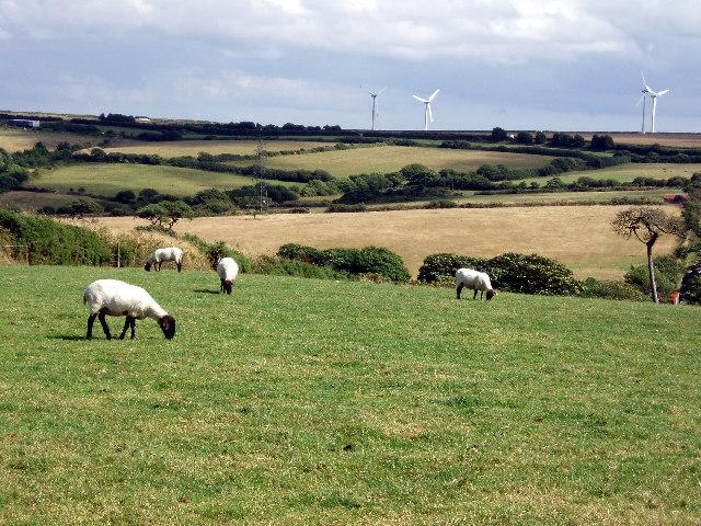 Sheep grazing near Callestick Vean