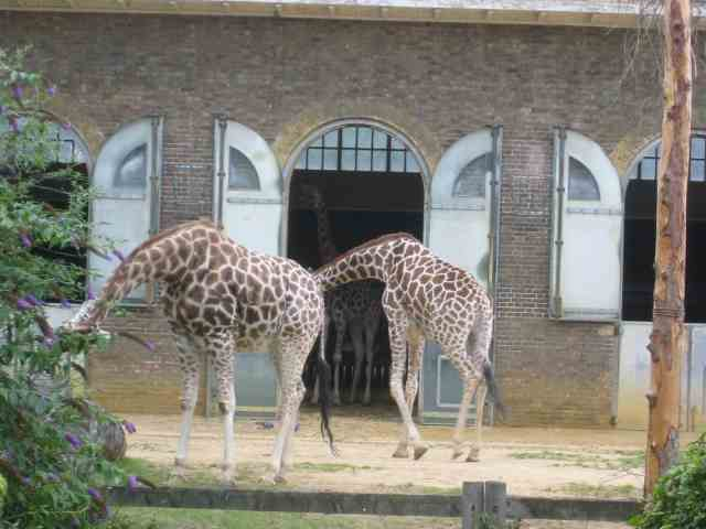 The Giraffe House at London Zoo