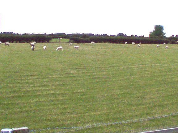 Sheep grazing on flat land