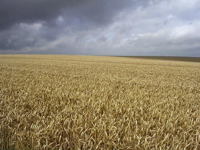 Field of ripe wheat, west of Stonehenge