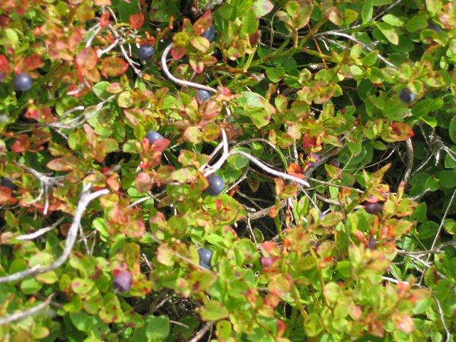 Blaeberries (Vaccinium myrtillus)
