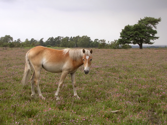 Pony on Beaulieu Heath East with  Crabhat Inclosure behind, New Forest