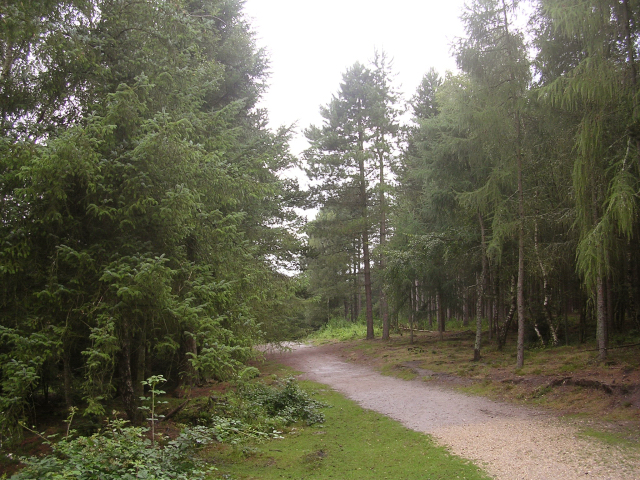 Coniferous trees in the Dibden Inclosure, New Forest