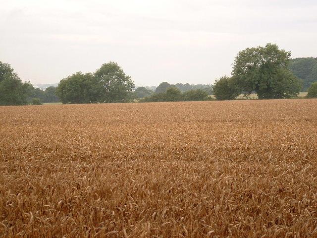Wheat field near Oldbury Farm