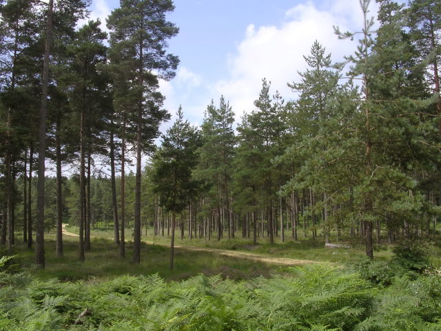 Coniferous trees in the Knightwood Inclosure, New Forest