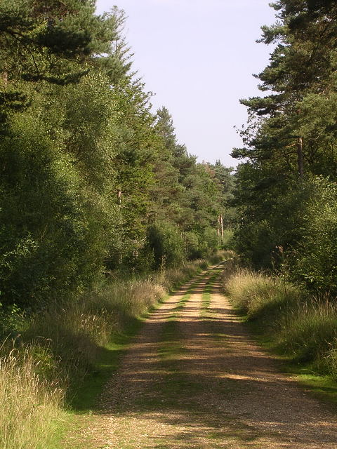 Track through the Holmsley Inclosure, New Forest