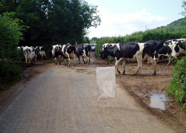 Cows crossing Launcherley Road