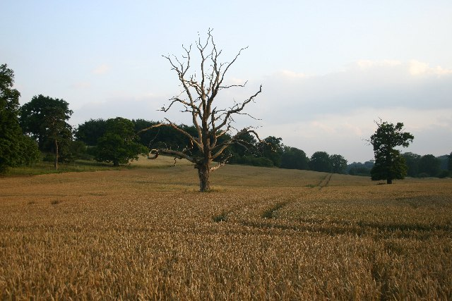 Lonely trees in Ickworth Park