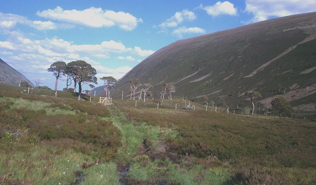Pine wood regeneration,Glen Alladale