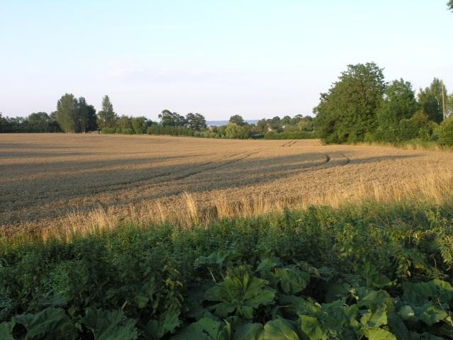 Fields ready for harvest, near Offham