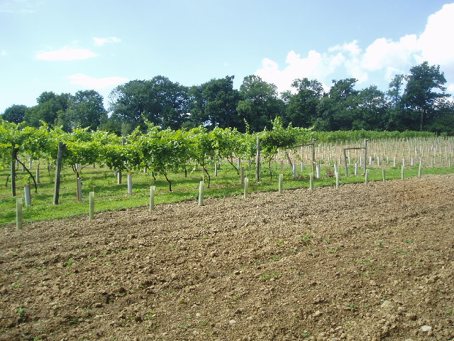 Vines growing at Scaynes Hill