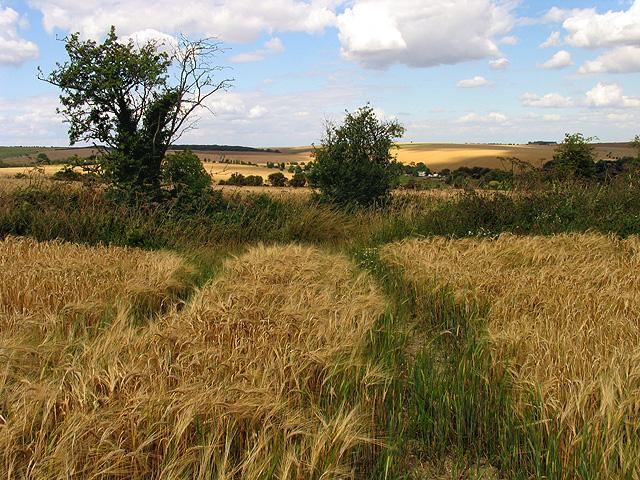 Barley Field near East Ilsley