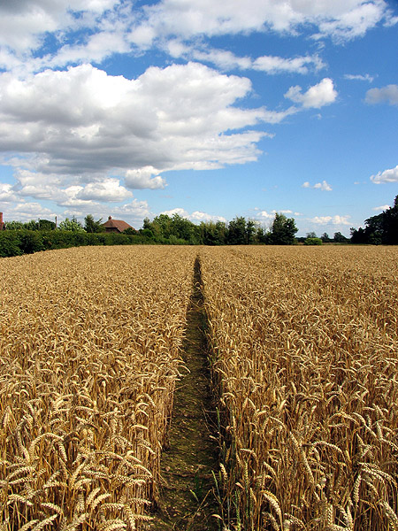 Barley Field near Stanmore