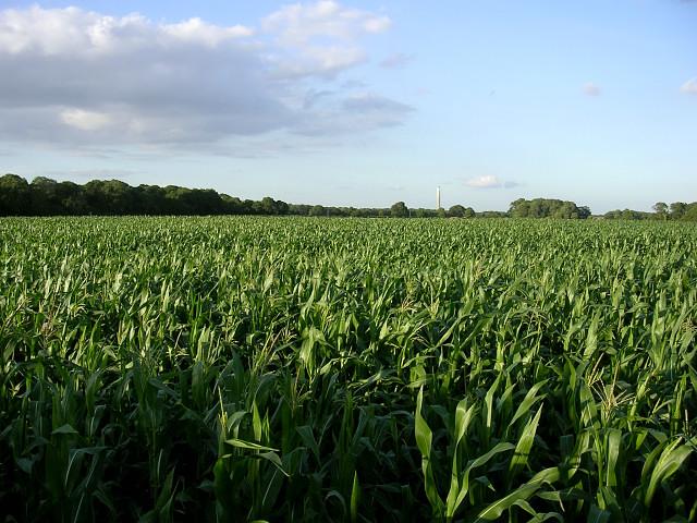 Corn crop west of Lepe Farm, Lepe