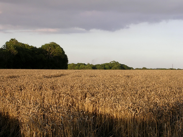 Ripe wheatfield south of Lepe Farm, Lepe