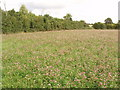 SP7706 : Field of clover, between Ilmer and Owlswick by David Hawgood