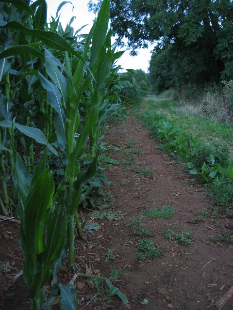 Maize field near Branston, Leicestershire