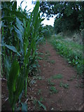 SK8030 : Maize field near Branston, Leicestershire by Kate Jewell
