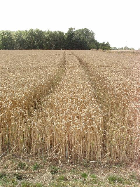 Corn field near Towersey