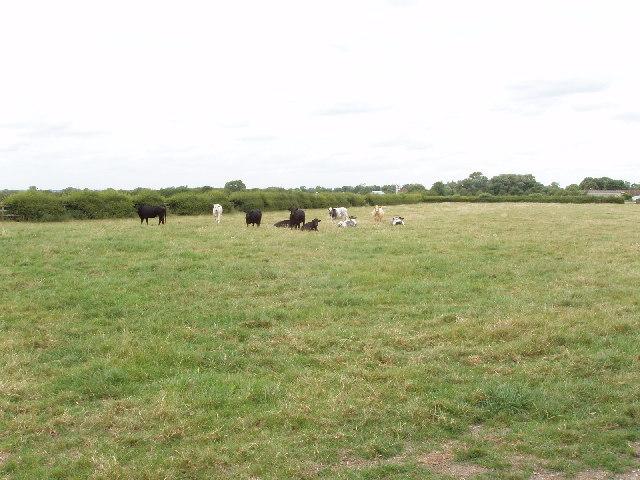 Cattle in a field, Henton