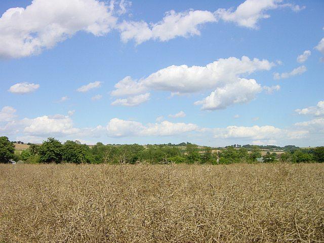 Rape ready for harvest near Lenham