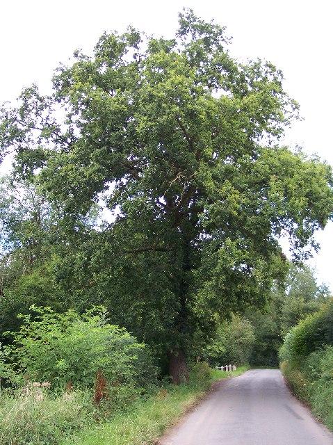 Oak Tree - with a sad plaque