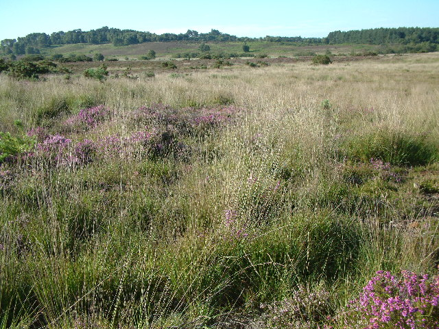 Bisterne Common, New Forest