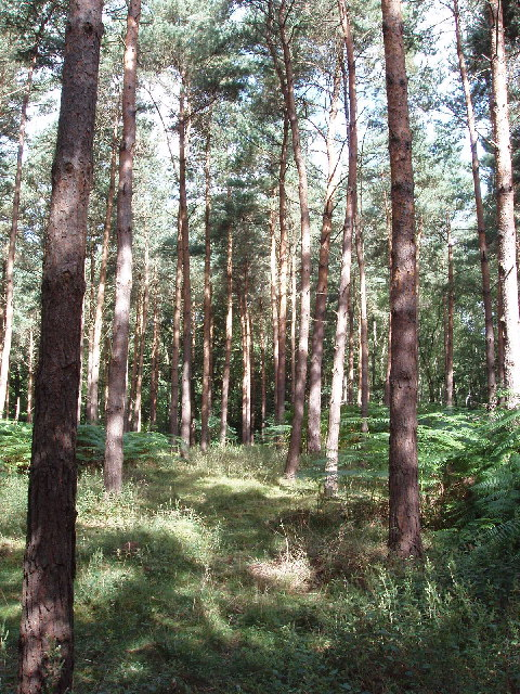 Conifers in Egypt Woods, near Farnham Common