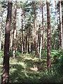 SU9586 : Conifers in Egypt Woods, near Farnham Common by David Hawgood