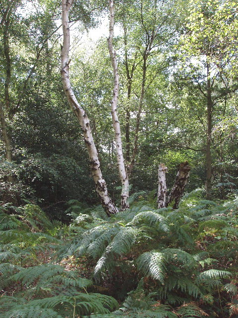 Ferns and birch trees on Littleworth Common