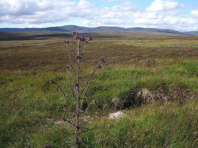 Moorland with Giant Thistle