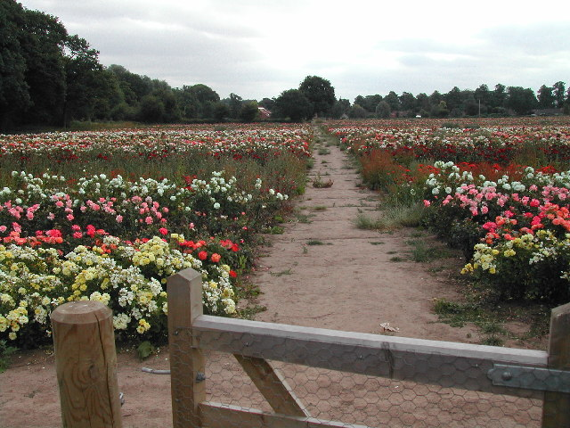 The Rose Fields, Woodborough