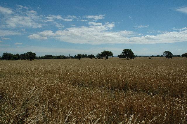 Wheat field, Culcheth