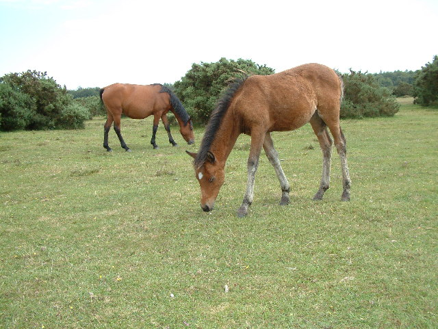 New Forest ponies, Holmsley