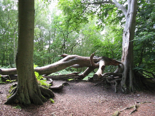 Fallen Tree, Snelsmore Common Country Park
