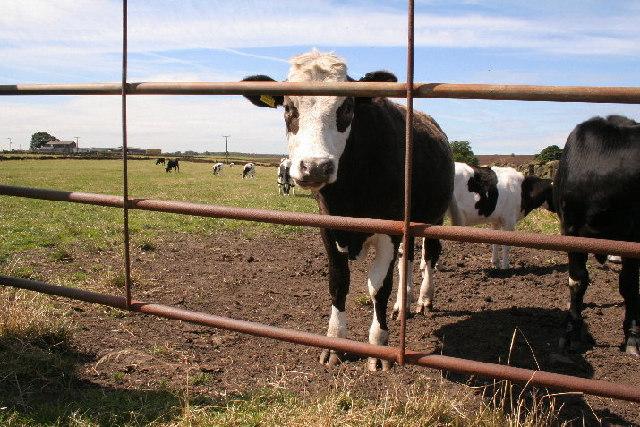 Cattle, Lamb Hill