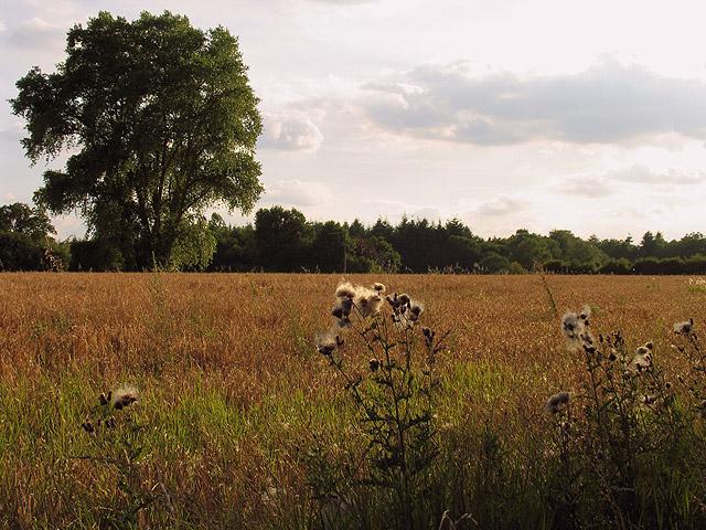 Barley Field: Upper Woolhampton