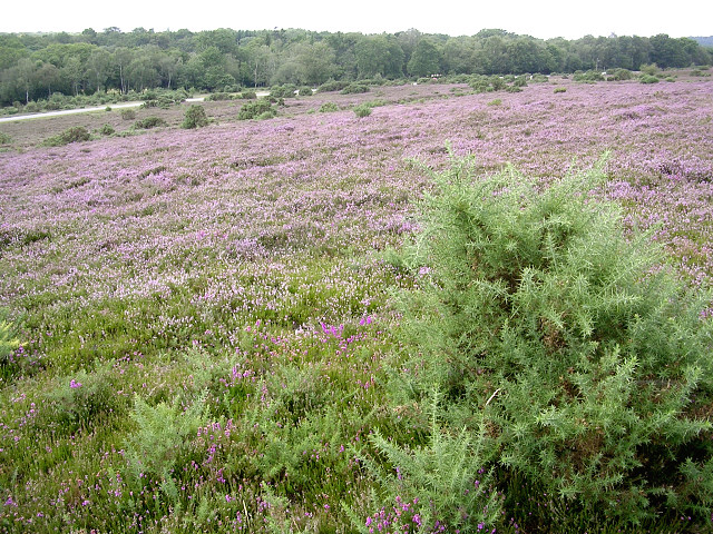 Heathland between The Ridge and the Beaulieu Road, New Forest