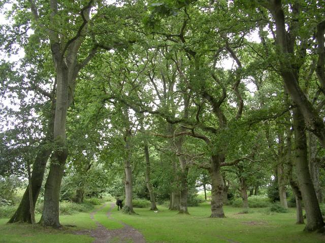 Beech and oak between Gurnetfields Furzebreak and Culverley Farm, New Forest