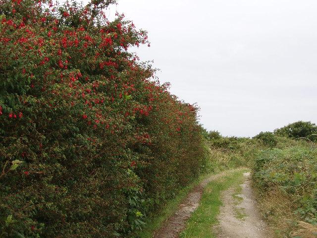 Fuchsia hedge outside Redruth