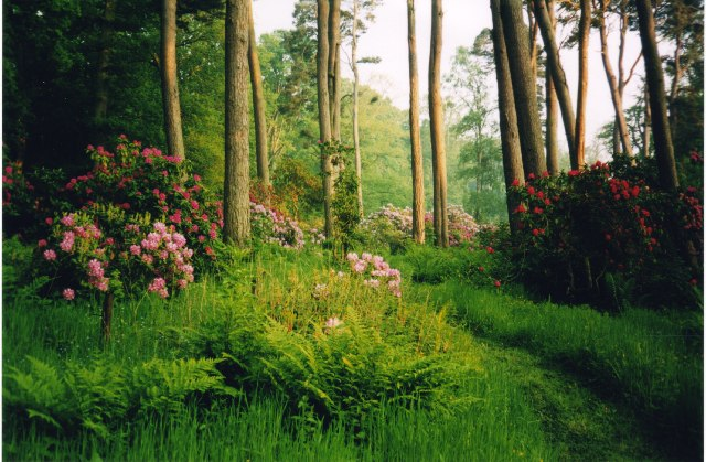 Rhododendrons in Dundock Wood, Hirsel Estate, Coldstream