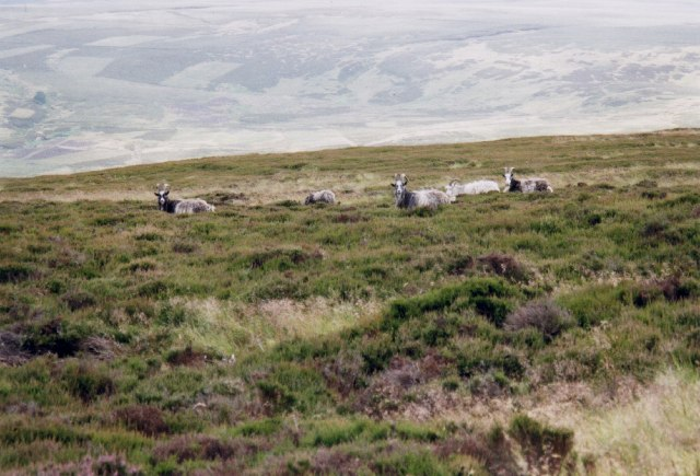 Feral goats on the NE slopes of Wester Tor