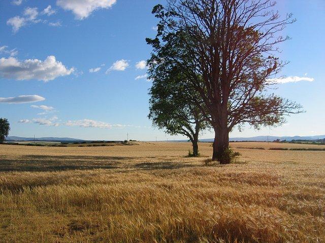 Barley Field, Methven