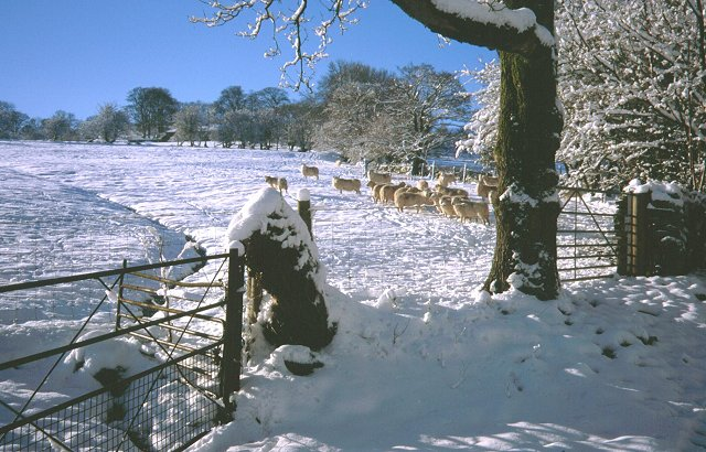 Sheep, Pantllwyd.