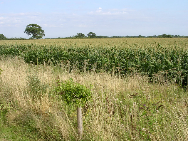 Ripening corn south of Hatchet Lane, Beaulieu, New Forest