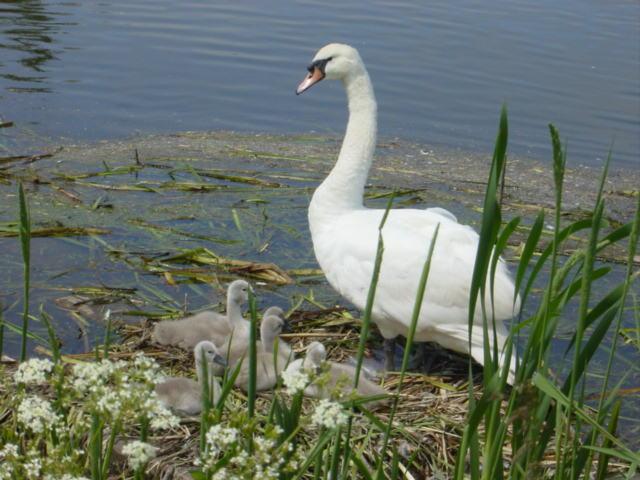 Swan and cygnets, Sankey Canal