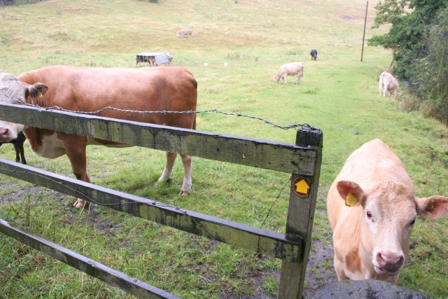 Cattle, Gate Head